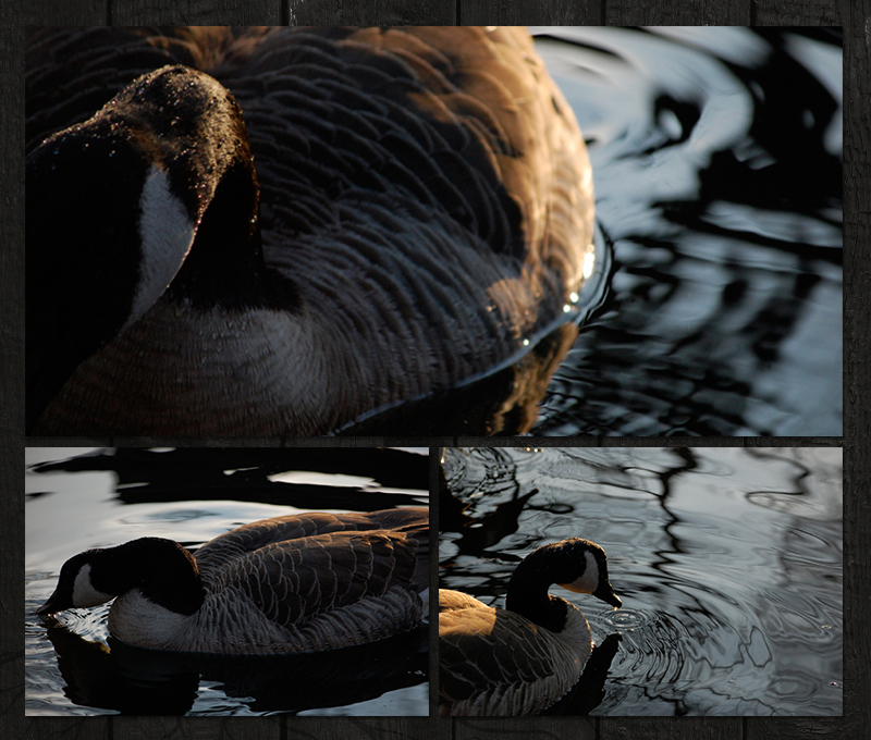 canada goose photography